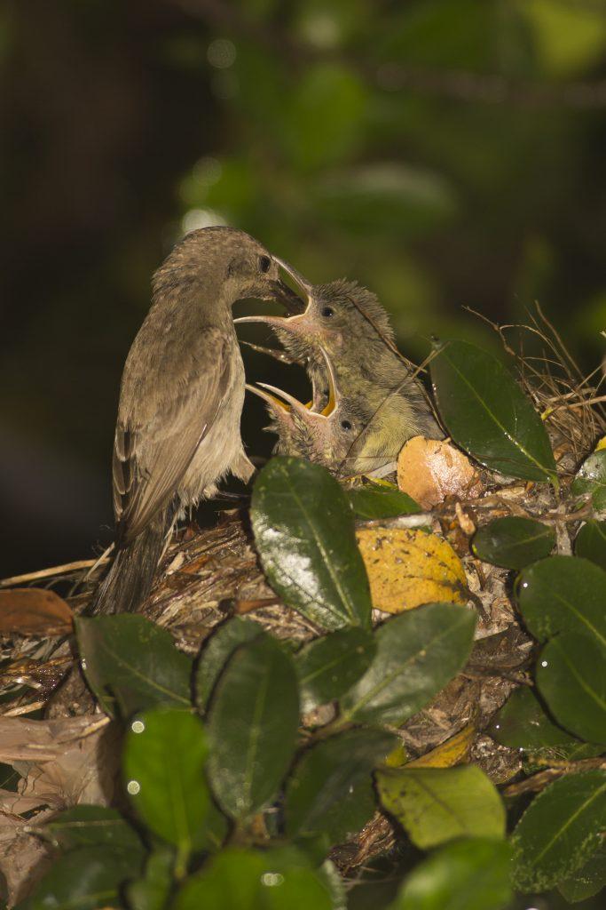 נקבה של צופית, עוצרת לרגע להאכיל את גוזליה ומיד נעלמת.