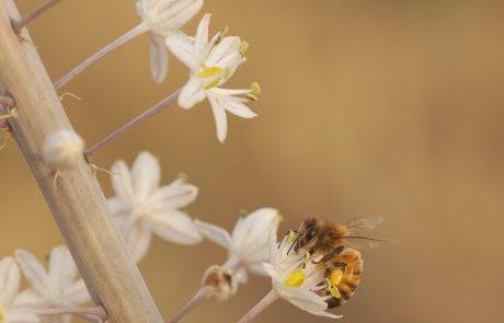 להסתכל לטבע בעיניים – דבורת הדבש