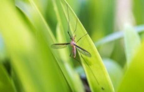 יתוש קדמך